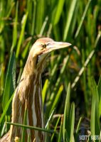Florida Wetlands Birds 54 by Skip1967