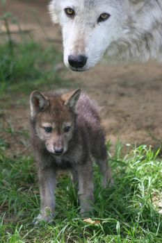 baby wolf by alspc
