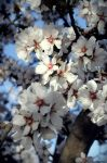 Blossoms by milanophoto