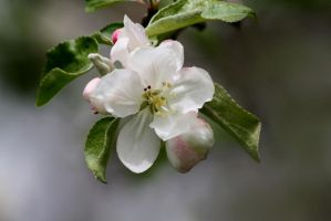 Apple Blossoms II by Photolover68