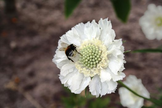 White flower and a bee by Rainbow-Loving-Freak