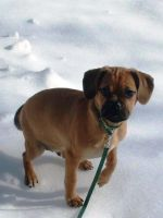 Max the Puggle by So-Delish