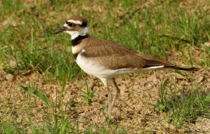 Killdeer 2015 by natureguy