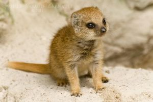 Baby Mongoose by darkcalypso