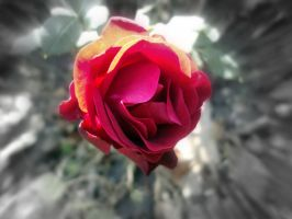 Rose by Baghindi-Photography