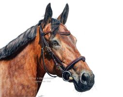 Thorouhgbred Estemo, colored pencil by Tinesdierportretten