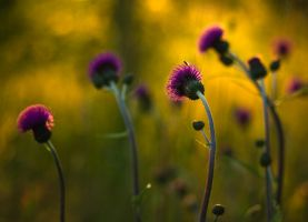 Cirsium helenioides by Nitrok