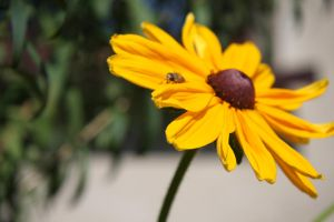 Black Eyed Susan and a Fly by PSujka