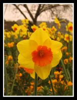 Daffodils by moonstomp