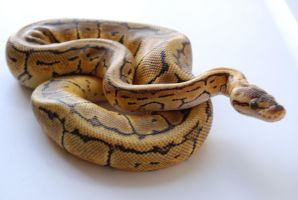 Lemon Blast Ball Python 5 by FearBeforeValor