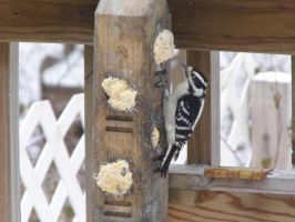 Hopper the Downy Woodpecker by Musicalcupcake93