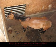 Unusual Angle 12 Buckskin by AstriexEquineStock