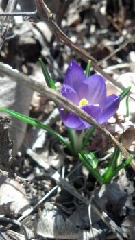 Crocus 4 by weego