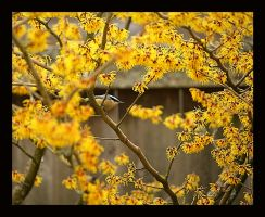 Nuthatch in Witchhazel by swashbuckler