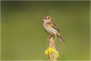 Grasshopper Sparrow by Ryser915