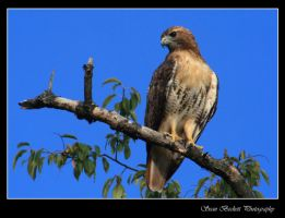 Vassar's Red-Tailed Hawk by seanbeckettvt