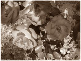 Roses by Iuliaq
