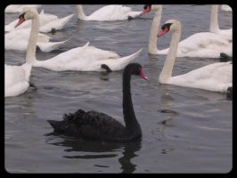 Black SWAN by tancreda