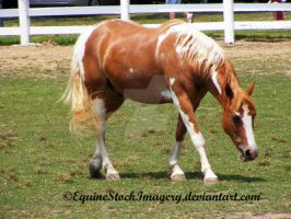 Paint Horse 8 by EquineStockImagery