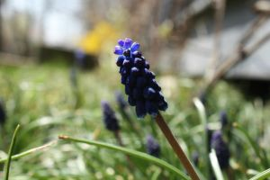 Grape Hyacinth by AndehDulac