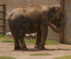 Asian Elephant - 8 by OverStocked