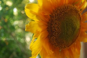 sunflower - one who shines by Chaleecious