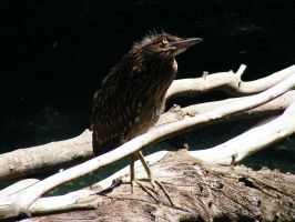 Young Heron Stock 3 by Arghel