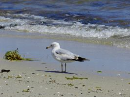 Seagulls at the seashore... by TriciaStucenski