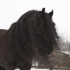 friesian joschi square - mane in the wind by Nexu4