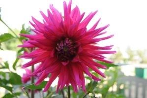 dahlias3 by Tumana-stock