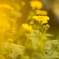 pure yellow by miezeTatze