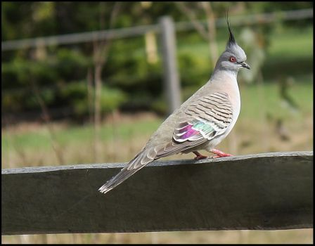 Crested Pigeon by Firey-Sunset
