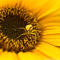 Misumena Vatia on Sunflower by Gilgond