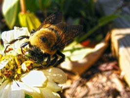 Bumble Bee Nom Nom by JeremyC-Photography