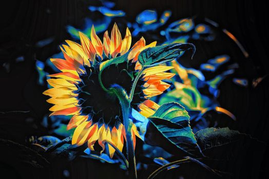Sunflower Study by clippercarrillo