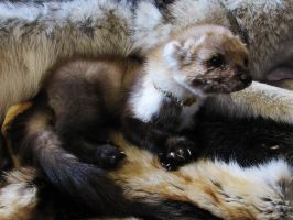 Reyz the softmount marten by WoroTax