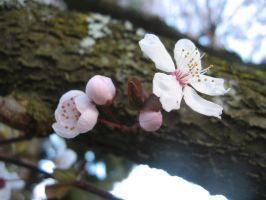 Progression Of A Blossom by Naenew