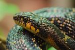 Russian Rat Snake by roarbinson