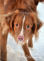 Buddy the toller by felill