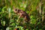 Frog on grass by friedapi