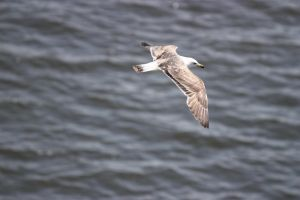 Seagull in flight 10 by CAStock