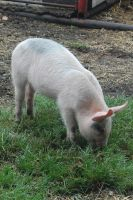 Stock 397 - Pig by pink-stock