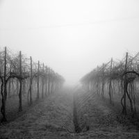 Vineyard in the mist by ilsilenzio