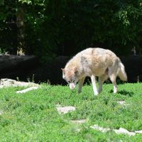 Wolf I by mimose-stock