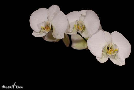 orchid by ZeWormes