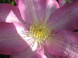 Clematis Closeup 1 by groundhog22