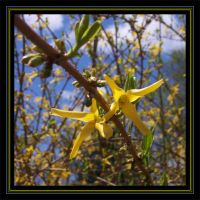 Froofy Forsythia by MuseSusan