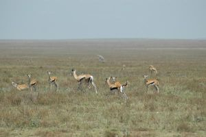 Thompson Gazelles 1 by CosmicStock