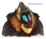 Mandrill, bust by marcgosselin