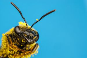 Solitary Bee Covered in Pumpkin Pollen IV by dalantech